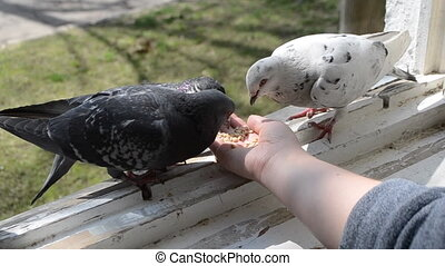 alimentation, printemps, pigeons, ensoleillé, main, day., oiseaux
