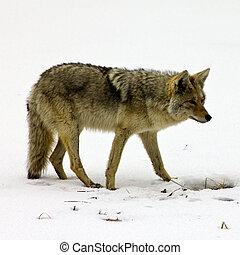 alimento, coyote, forraje, solitario