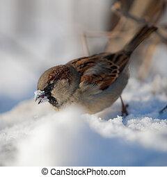 alimento, debajo, miradas, nieve, gorrión