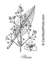 alisma aquatic plant, vintage print