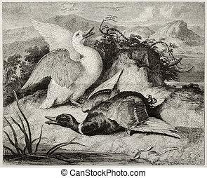 Alive and dead - Old illustration of duke and drake, alive...