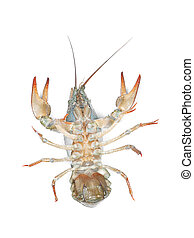 Alive crawfish isolated