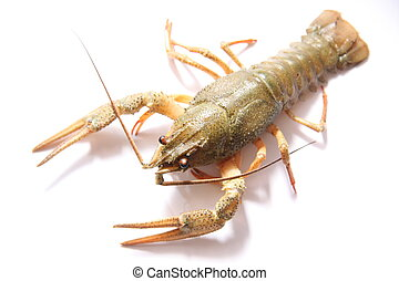 alive crayfish on white