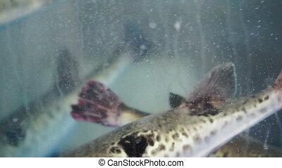 alive swimming porcupine fish - fresh, alive swimming...