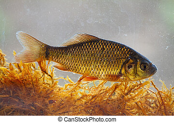 Alive young crucian carp diving in river water under surface...