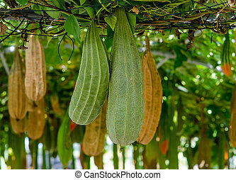 All Angled gourd hanging on vine