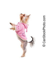 All dogs want it. Side view of cute Yorkshire terrier in pink clothes standing on its hind legs while being isolated on white background
