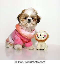All Dressed Up And Nowhere To Go - A 12 week old Shih Tzu...