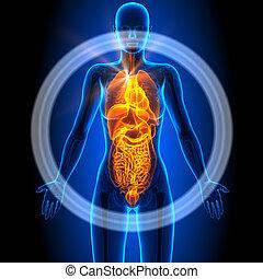 All - Female Organs - Human Anatomy