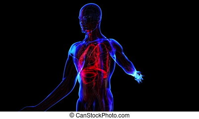 All human body systems. Respiratory system highlight. Loop