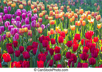 all tulips in the garden.