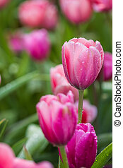 all tulips in the garden.