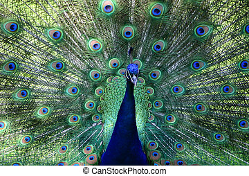 All you can see - A 'blue ribbon' peacock from the Ft....