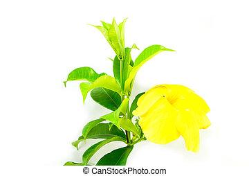 Allamanda or golden trumpet , beautiful yellow flower isolated o