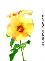 Allamanda or golden trumpet , beautiful yellow flower...