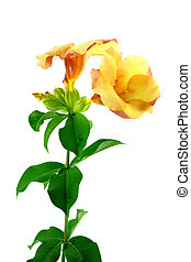 Allamanda or golden trumpet , beautiful yellow flower isolated on white background