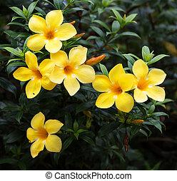 Allamanda or golden trumpet , beautiful yellow flower.