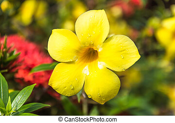 Allamanda or golden trumpet close up of  beautiful yellow flower