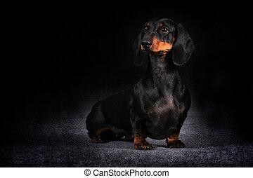 allemand, chevelure, chien, teckel