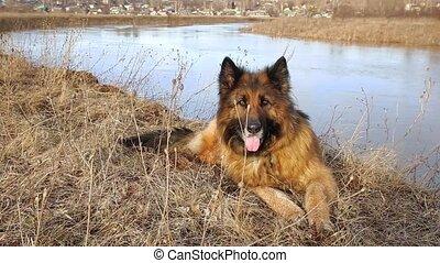 allemand, chien, berger