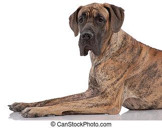 allemand, mastiff