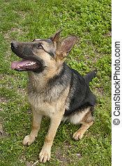 allemand, shepherd.