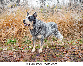 Allerted Gray dog on muddy forest path with colorful leaves.  Australian Cattle Dog in forest. Dog standing in water with  autumn forest background,