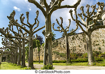 Alley of old trimmed platanus trees against the background ...