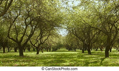 Alley of the apple trees. Autumn daytime. Smooth dolly shot