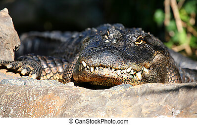 Alligator Basking