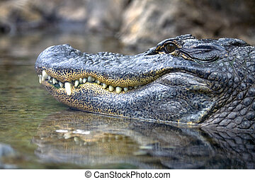 Close-up of an alligator's head