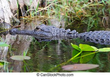 Alligator closeup in wild