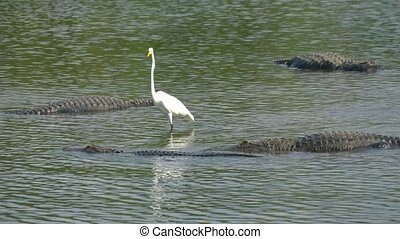 alligator, eau, au-dessus, juste, flotte