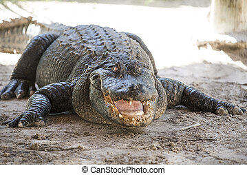 alligator everglades - alligator in its natural habitat in...