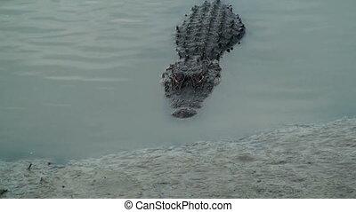 Alligator evil stare - Alligator showing his evil stare