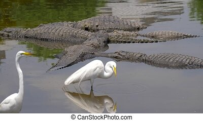 Alligator floats just above the water - Many wild crocodiles...