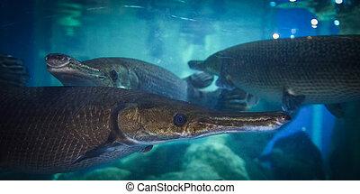 Alligator gar fish swimming fish tank underwater aquarium / Atractosteus spatula