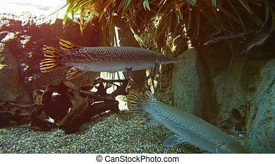 Alligator gar from North America. FullHD 1080p 1080p video