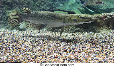 Alligator Gar from the side