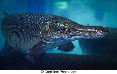 Alligator gar / The fish alligator gar swimming fish tank underwater aquarium  - Atractosteus spatula
