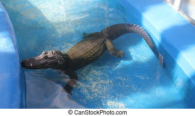 Alligator in blue water
