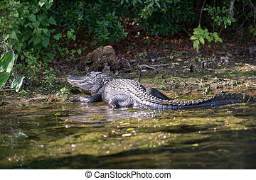 A large American alligator basking along the edge of the water in a Florida swamp.