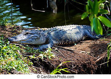 Alligator in the Everglades - An alligator resting in the...