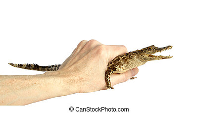 Alligator in the hand of man, isolated on a white background