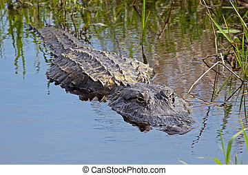 Alligator in the Wild - An alligator in the wild, Upper ...