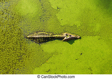alligator in wetland pond covered with duckweed and swimming