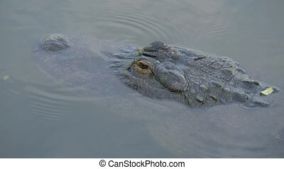 Alligators in a swamp in Florida. - Alligator is a large...