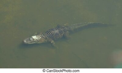 American Alligator - Alligator mississippiensis. - Alligator...