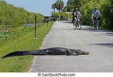Tourists cycling past american alligator laying on bicycle path at Shark Valley in the Evergaldes National Park
