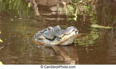 alligator, mâchoires, américain, sien, sauter